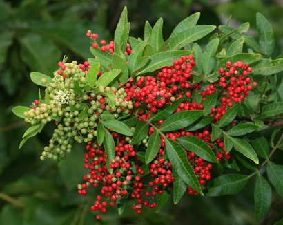 Plant Therapy's Essential Oil of The Month – Pink Berries CO2